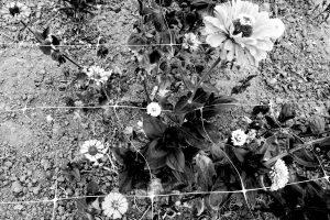 werk 2018 augustus, bloemen in net