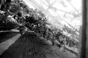 werk 2018 augustus, druiven in kas
